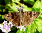 Duskywing Skipper....Horace's maybe by duggiehoo