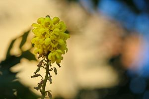 Last Mahonia Flower by WestLothian