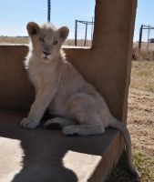 White lion cub - stock by kridah-stock