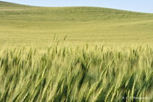 Wheat Field 2 by RColinTaylor