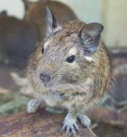 degu by LidiaL