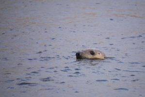 Curious Grey Seal by Blue-eyed-Kelpie