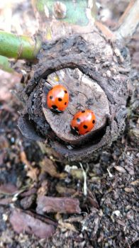 Ladybirds by aimsy19