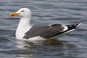 Lesser Black Backed Gull by Cantabrigian