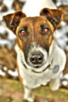 Smooth Fox Terrier by brzda