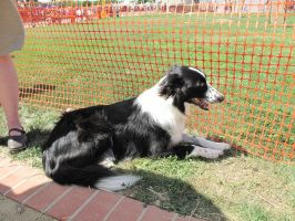 border collie 1 by Jupiter-Foxclaw