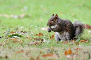 Squirrel 2 by InsaneGelfling