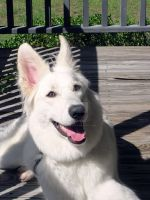 Sun and Sky White German Shepherd Dog by lady-cybercat