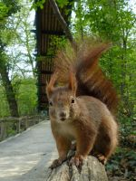 Squirrel 208 by Cundrie-la-Surziere