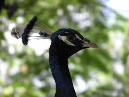 Peacock Profile by OneClownShoe