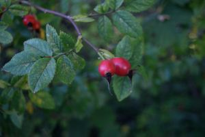 DSC 0014  Rose Hips 2 by wintersmagicstock