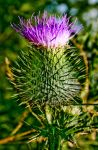 Thistle by Riddla192