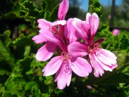 Pink Flowers by my-dog-corky