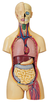 Anatomical Model PNG by AbsurdWordPreferred