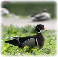 Male Wood Duck 1 by panda69680102