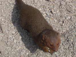 Zoo Oliemeulen - Mongoose 01 by WINGCAPMAN