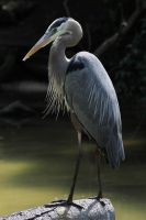 The Great Blue Heron by I-Heart-Photos