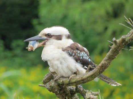 laughing kookaburra with fish by lovelylollia