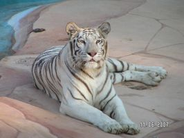 White Tigress 12 by UngesehenSoldatStock