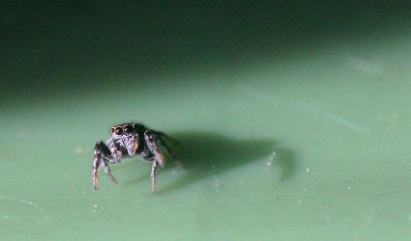 Jumping Spider by foquinha156