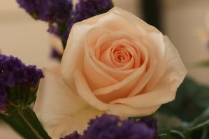 stock cream rose flower by Nexu4