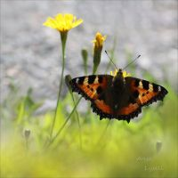 Butterfly_8 by Zoralysell