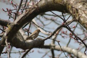 sparrow  in spring by bagera3005
