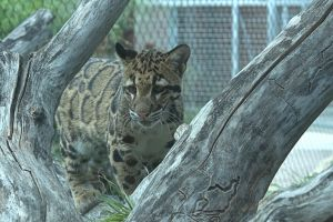 Clouded Leopards (1) by Razgar