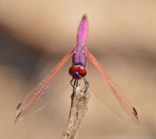 Dassia dragonfly August 2014 2 7 by melrissbrook