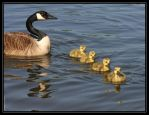 Canada Geese 40D0004685 by Cristian-M