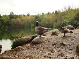 geese 05 by Treeclimber-Stock