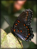Red-spotted Purple 20D0030913 by Cristian-M