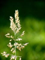 Grass flower on green by Ratabago