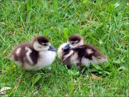 Egyptian Goslings by Lupsiberg