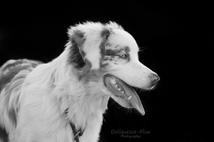 Australian Shepherd Portrait by Deliquesce-Flux