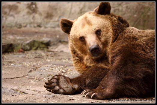 Brown bear by AF--Photography
