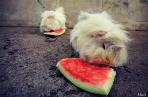2 Guinea Pigs by Annabel158