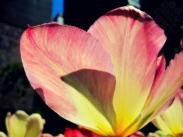 Red and Yellow Tulip by jemgirl