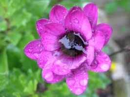 Flower filled with rainwater by 69raywwf