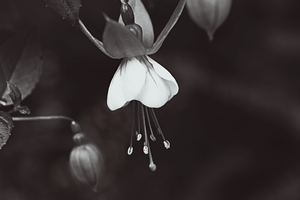 Dropping Flower BW by Wolf-Chief