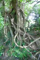 Twisted Roots and vines of a tree by CarolineRutland