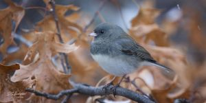 Junco oak and snow by DGAnder