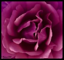 Purple Rose by mysteria-dl