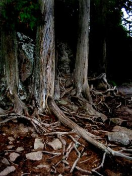 Roots by ncenger