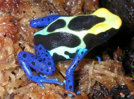 Another Dart Frog by scythemantis