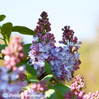 Lilacs II by CecilyAndreuArtwork