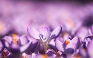Crocusses by enaruna
