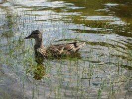 Lakes and Ducks 2 by TheSammichMaker2000