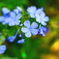 Blue plumbago 2 by FrancescaDelfino