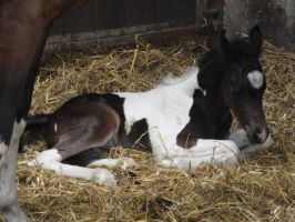 Lying foal in straw by Horselover60-Stock